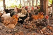Scientists warn of unregulated antibiotic use in animals