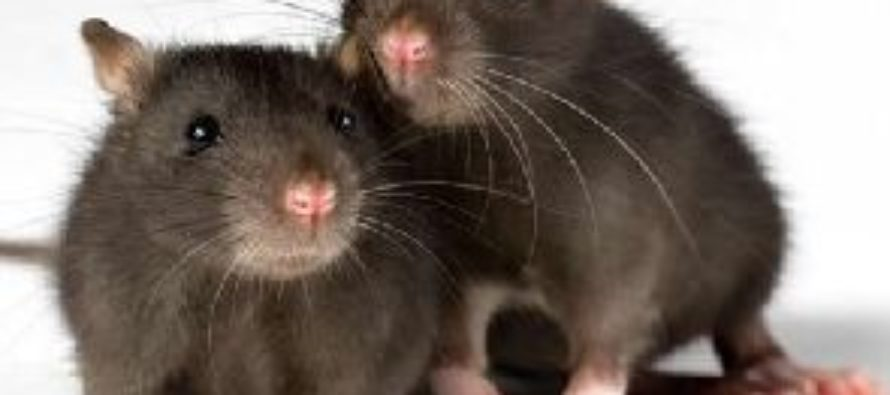 Lassa fever: 80% rats cleared at Tema Community one market