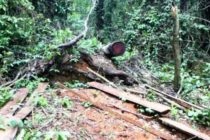 Tree falls on 'illegal logger' in Tano Forest, kills him
