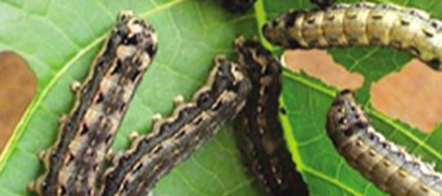 V/R: We are prepared for Fall Armyworm – FAO