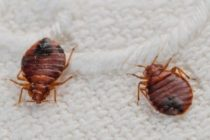 Bedbugs 'invasion' forces shutdown of Tema Technical School boarding house