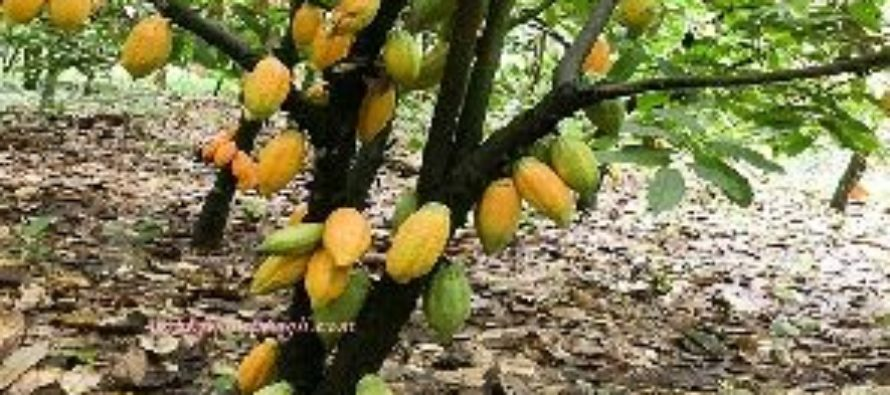 Cocoa to disappear in 40 years if climate change 'runs rampant' – Experts
