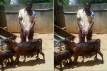 Man accused of raping goat; says he asked the animal for permission