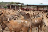 Chiefs demand enforcement of ban on donkeys' skin trade