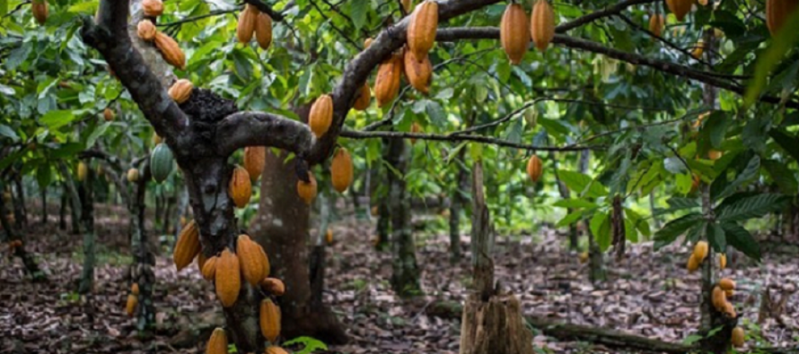 COCOBOD to destroy over 30-year-old cocoa trees