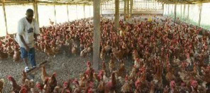 Poultry farmers livid over delay in GH¢6m loan refund