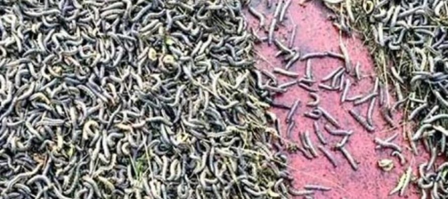 More than 1,300 football fields of maize destroyed by armyworms