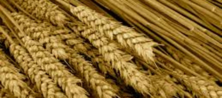 Egypt has procured 803,000 tonnes of wheat since start of harvest -supply min