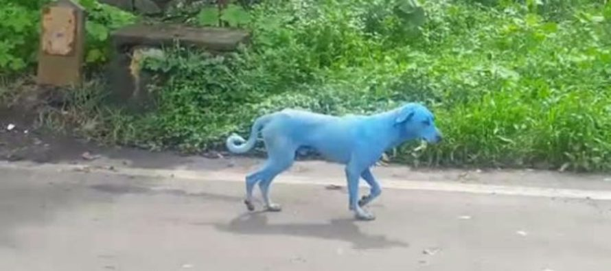 Real-life blue dogs spotted in India