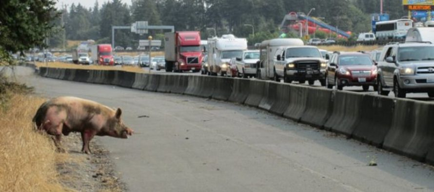 Pig headed to auction breaks out of truck on highway