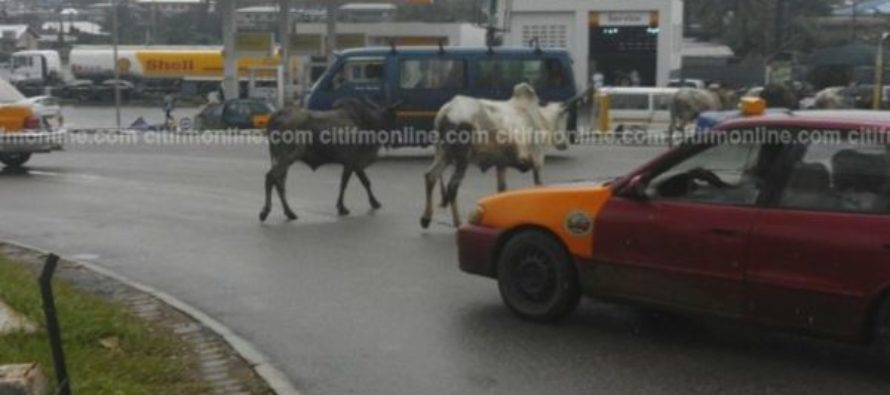 Stray cattle takeover major streets in Kumasi