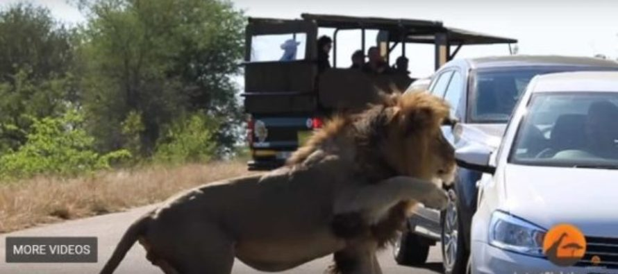 Video: Lion's attack on car caught on camera in South Africa