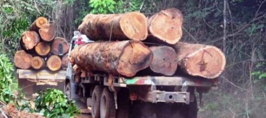 98,500 lumber seized; 181 suspects grabbed