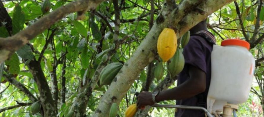 Cocoa farmers call for reform of mass cocoa spraying exercise