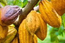 No fertiliser for 2yrs – Cocoa farmers cry