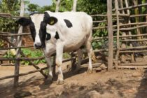 Ugandan cows 'to get birth certificates'