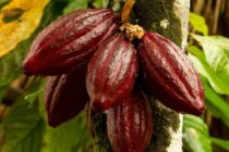 Cocoa price: Rainy days ahead – Cocobod CEO to farmers