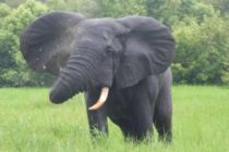 Forestry Commission issues alert about possible elephant invasion