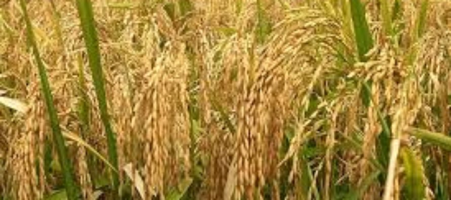 Ghana to stop rice importation in next five years – AGRA