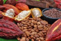 Low yield, disease, pests major cocoa problems – Imani