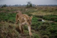 Kenya officials hunt lion which mauled man to death