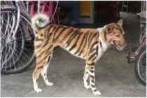 Farmer paints his dog like a tiger to scare away invading monkeys