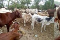 'Mouth and Foot' disease kills calf, affects 200 cattle in South Tongu