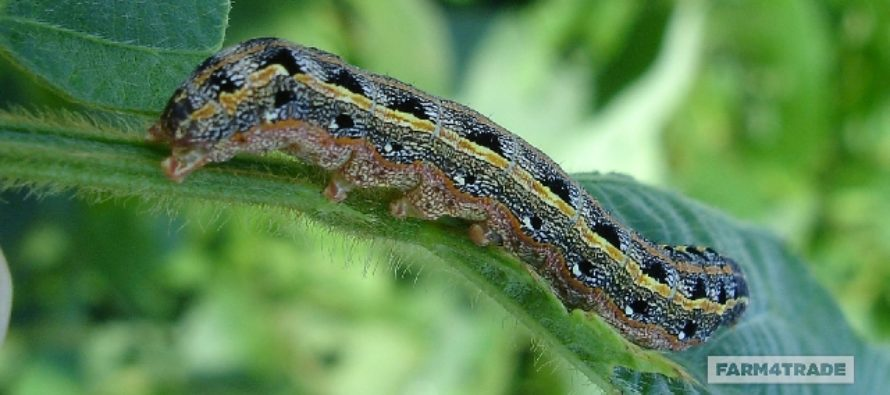 Fall armyworms back