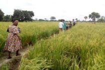 V/R: 600 rice farms destroyed by drought in Ketu South