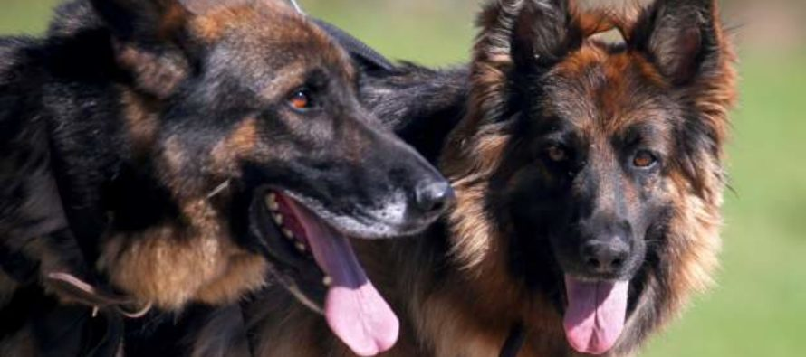 10 dogs maul 2-year-old pupil to death in school compound